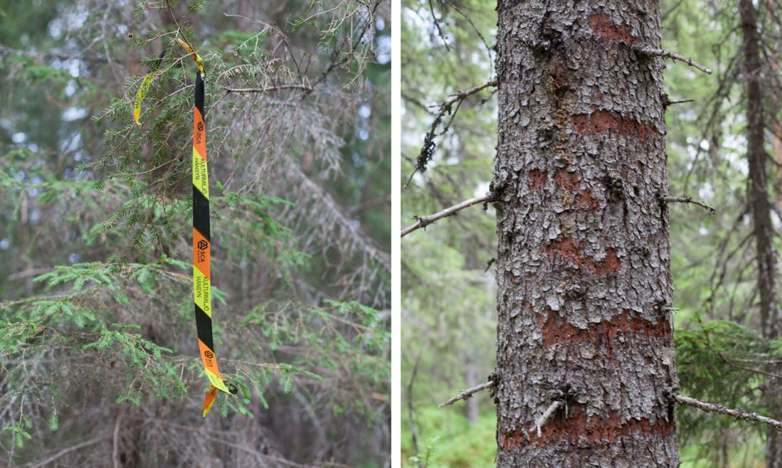 På trädet till höger hittades spår av tretåig hackspett. En av de hotade arter som finns i den svenska skogen. Bilden till vänster: Det plastband som markerar skyddade områden. Foto: Marie Edholm
