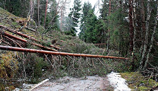 Bearbetning av stormfälld skog är bland det farligaste arbete man kan ägna sig åt.